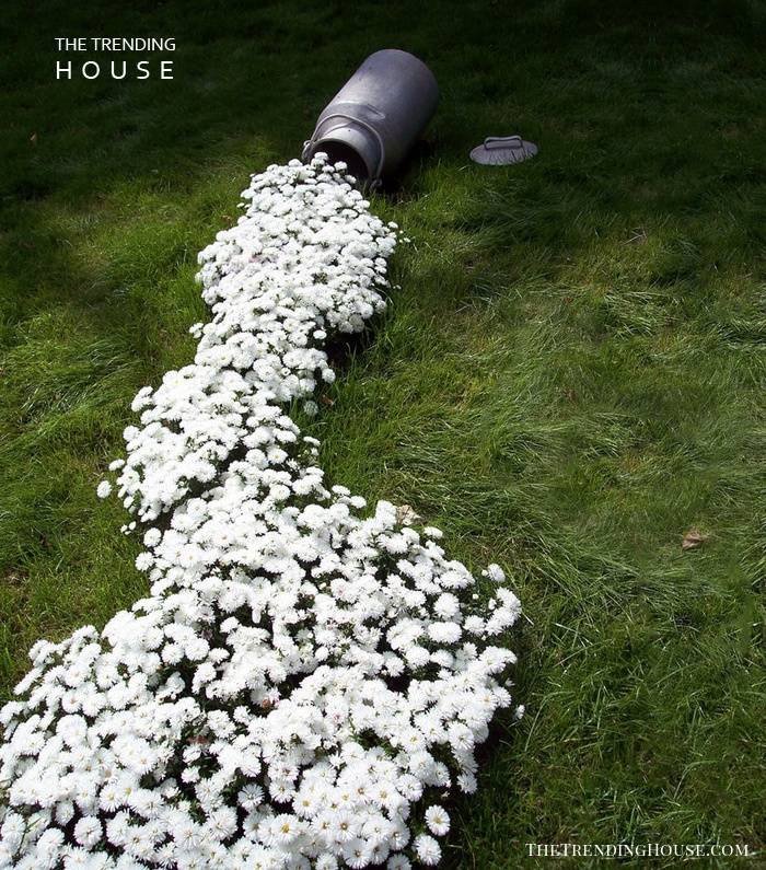 Milk Can Spills White Flowers